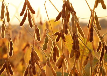 What You Need To Know About Soybeans